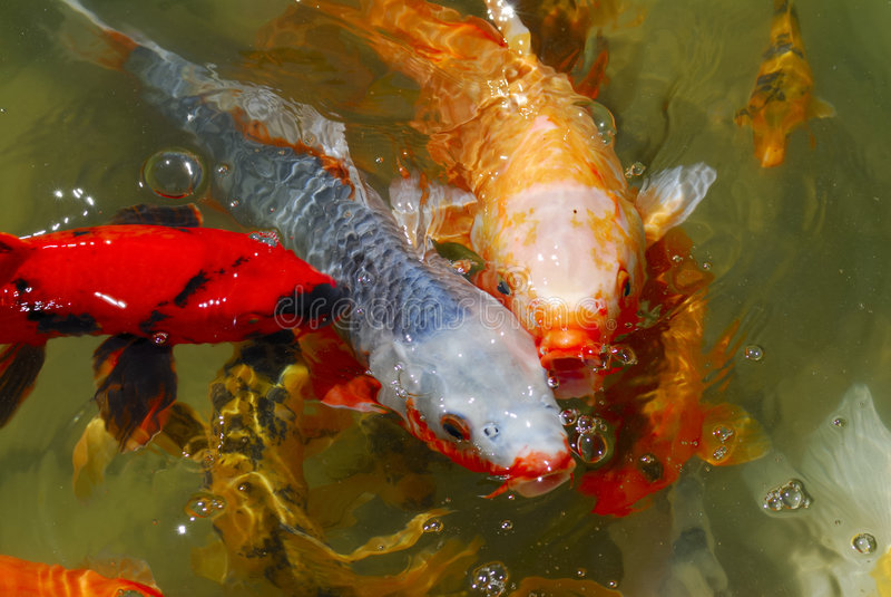 Japanische tee garten koi fische lizenzfreies stockfoto for Garten fische