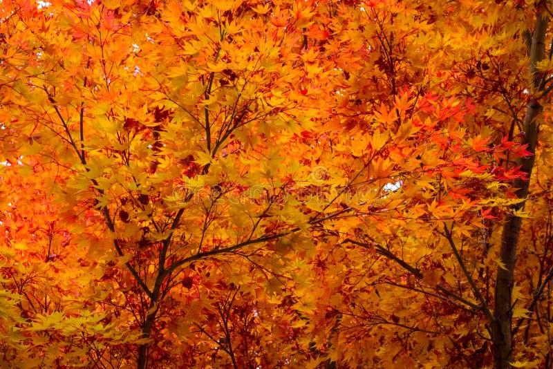 Japanischer Ahorn Acerbaum im Herbstfall verlässt stockbild