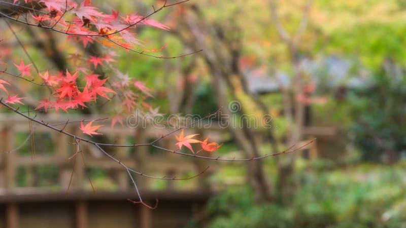 Japanischer Ahorn im Herbstsaisonhintergrund, See Kinrinko Yufuin stockbild