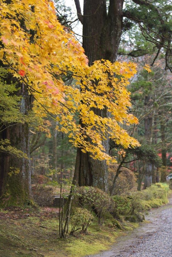 Japanischer Ahorn im Park im Herbst lizenzfreie stockfotos