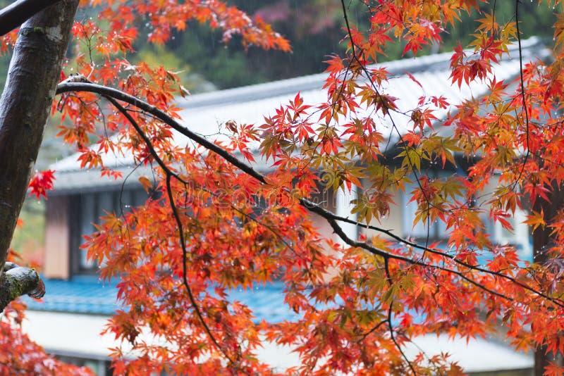 Japanischer Ahorn im Park im Herbst stockbilder