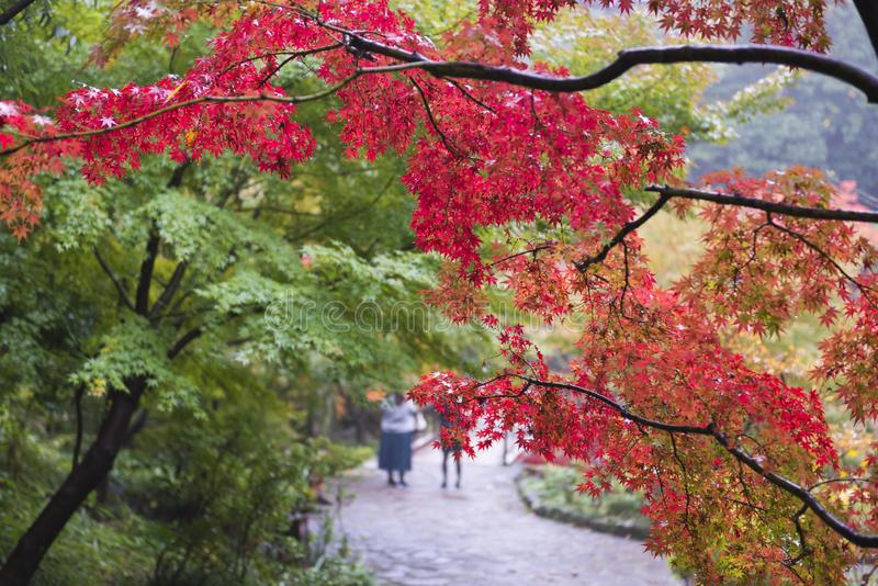 Japanischer Ahorn im Park im Herbst lizenzfreie stockbilder