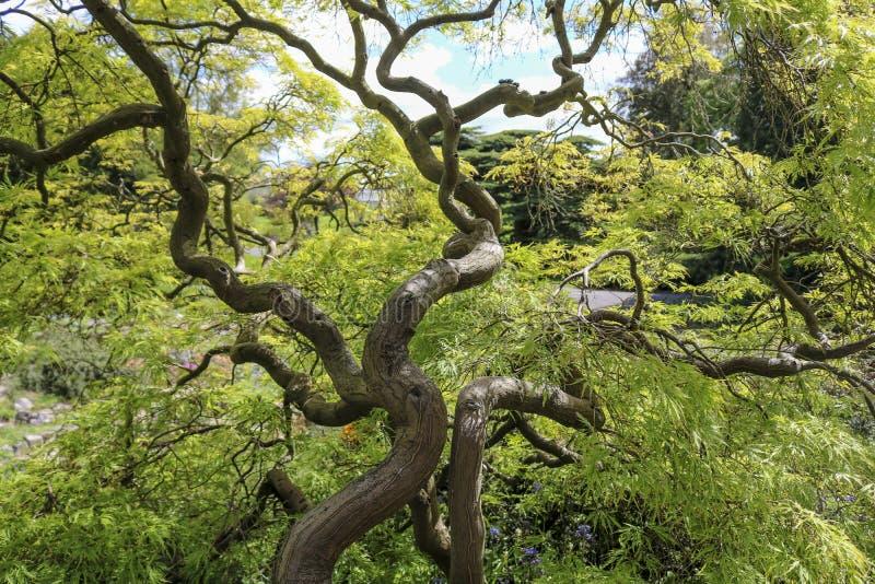 Japanischer Ahorn oder Acer Palmatum lizenzfreies stockfoto