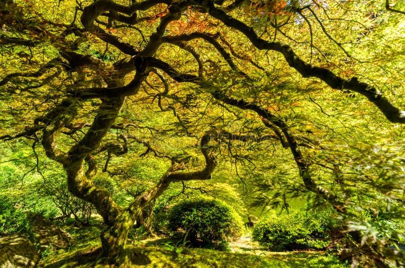 Japanischer Ahornbaum lizenzfreie stockbilder
