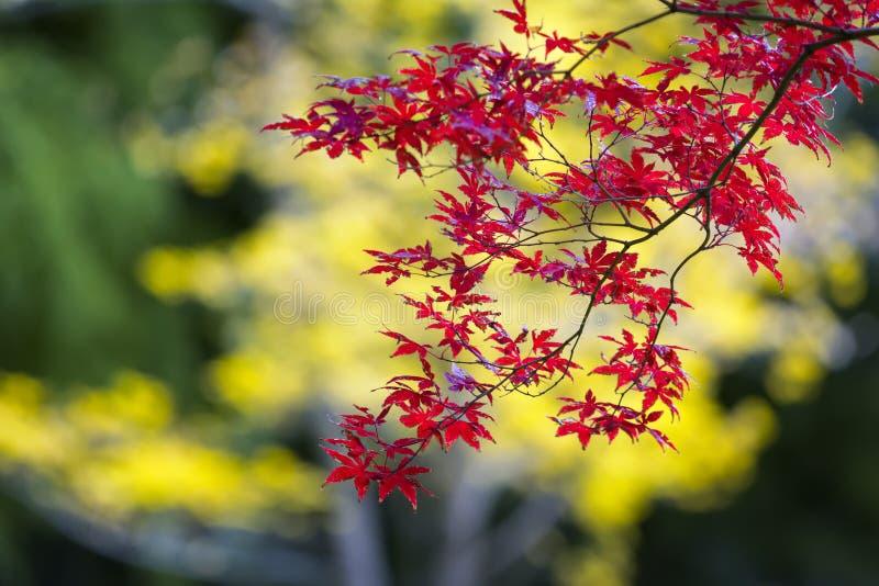 Japanischer Ahornbaum an einem bunten Fall-Tag stockbilder