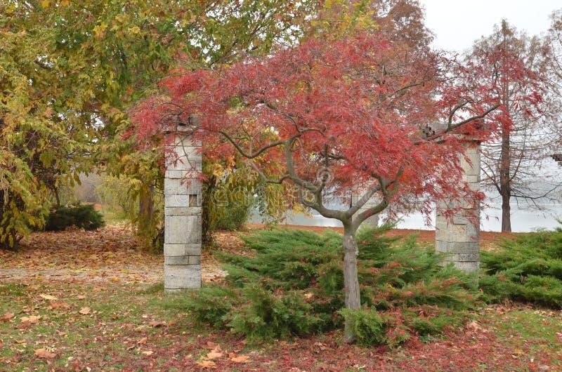 Japanischer Ahornbaum mit rotem Herbstlaub lizenzfreie stockbilder