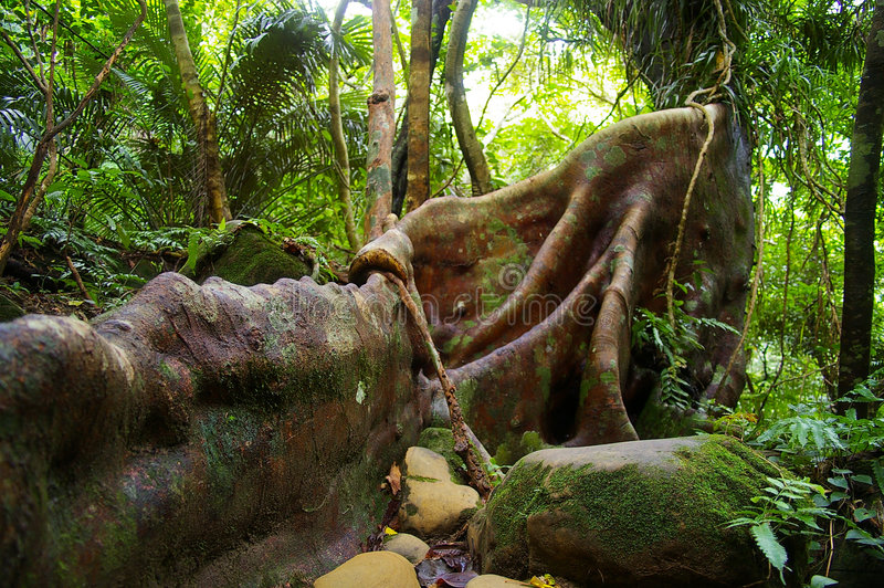 Japanischer Bantambaum (Ficus microcarpa) lizenzfreie stockfotografie