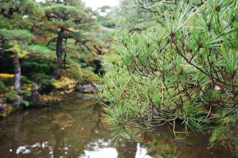 Japanischer Baum stockfotografie