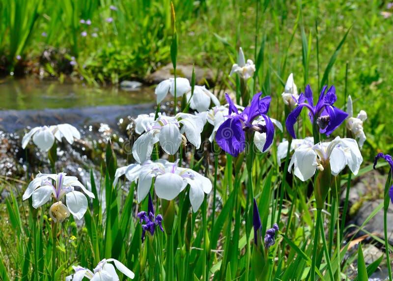 Japanischer Garten im Frühjahr, Strom und Blumen stockfotografie