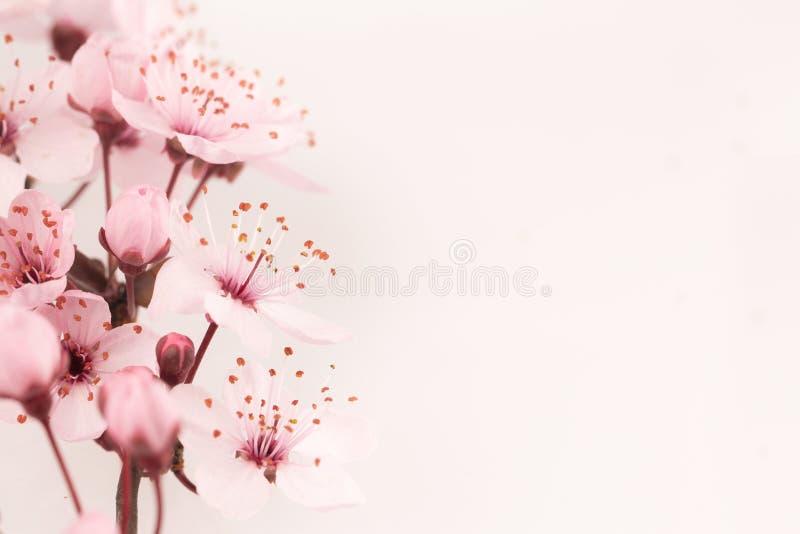 Japanischer Kirschblütenhintergrund mit Kopienraum auf dem Recht lizenzfreies stockbild