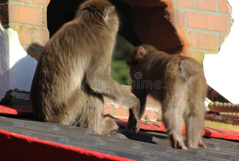 Japanischer Makaken in der Stadt lizenzfreies stockbild