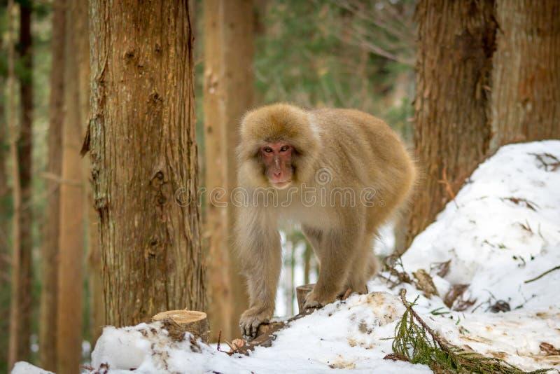 Japanischer Makaken im Wald lizenzfreie stockfotos