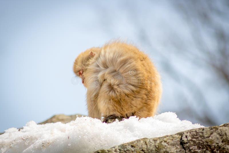 Japanischer Makaken im Wind stockfotografie