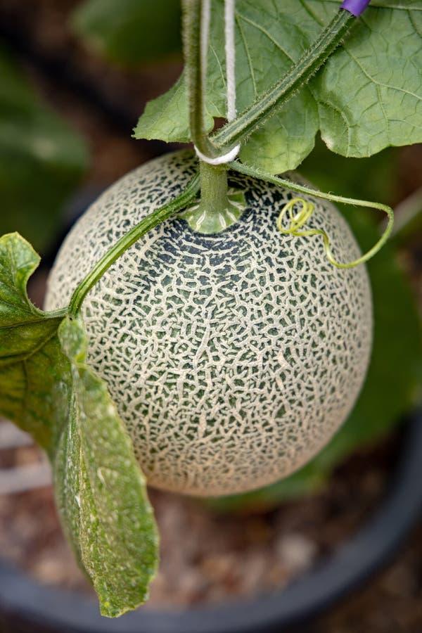 Japanischer Melonengarten lizenzfreies stockbild