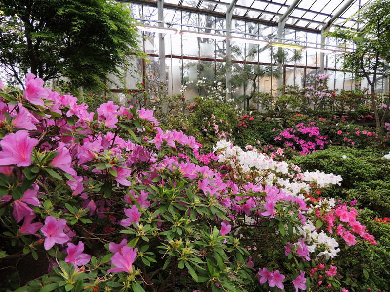 Japanischer Rhododendron (Rhododendron japonicum) stockfoto