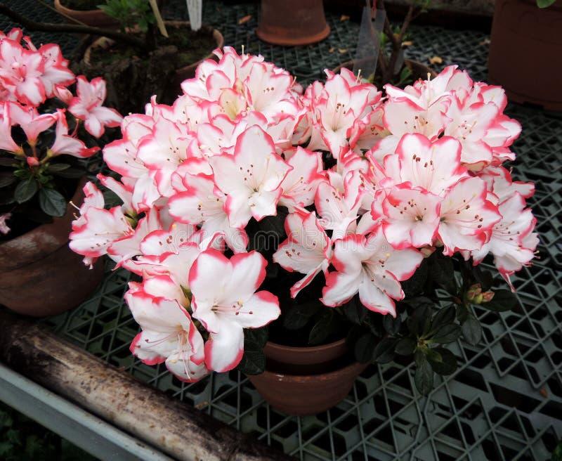 Japanischer Rhododendron (Rhododendron japonicum) lizenzfreies stockfoto
