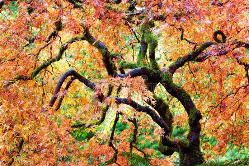Japanischer Spitze-Blatt-Ahornbaum im Fall Oregon USA lizenzfreies stockfoto