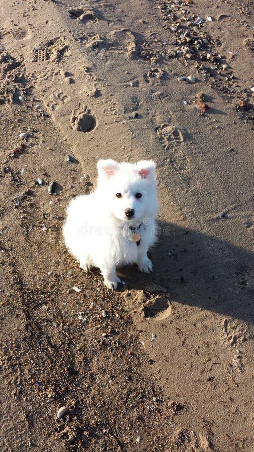 Japanischer Spitzhund lizenzfreie stockfotografie