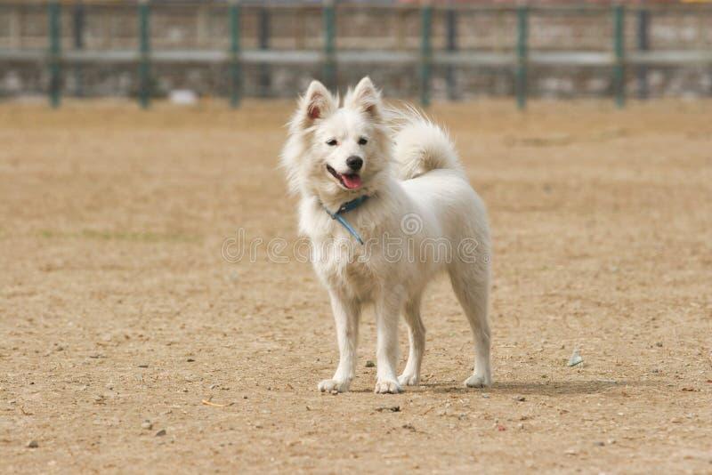 Japanischer Spitzhund stockfotografie