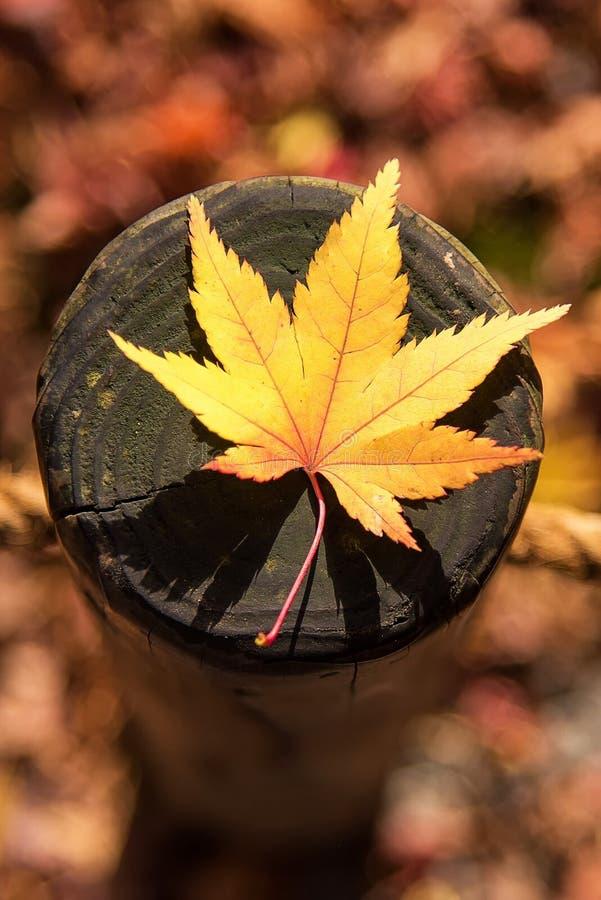 Japanisches Ahornblatt auf hölzernem Muster backgroud stockfotografie