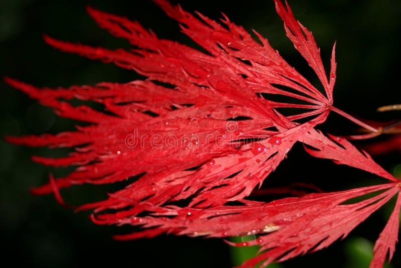 Japanisches Ahornholz stockbild