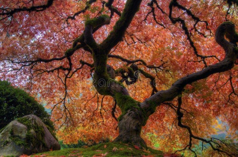 Japanisches Ahornholz-Baum lizenzfreie stockbilder