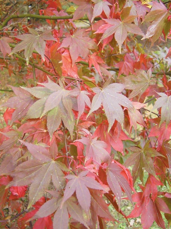 Japanisches Ahornholz Osakazuki stockfotografie