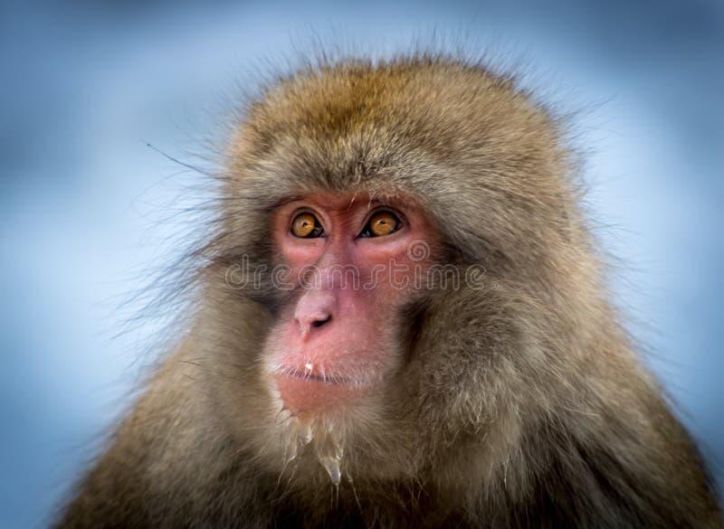 Japanisches Makaken-Porträt lizenzfreies stockfoto