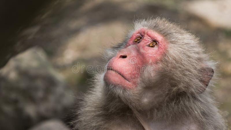 Japanisches Makaken-Porträt stockbilder