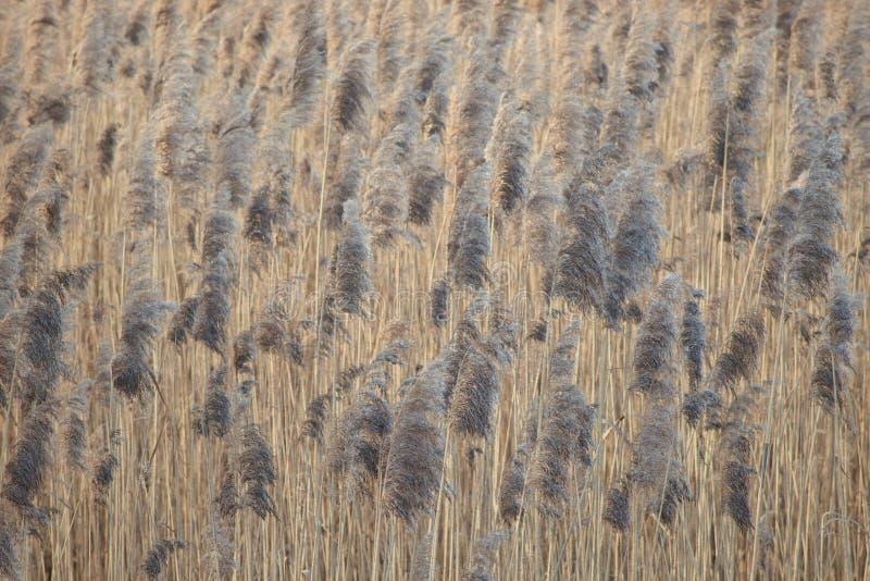 Japanisches Motiv: Reedfeld Weicher Fokus Schönes Foto Effekt des Aquarellpapiers stockfotos