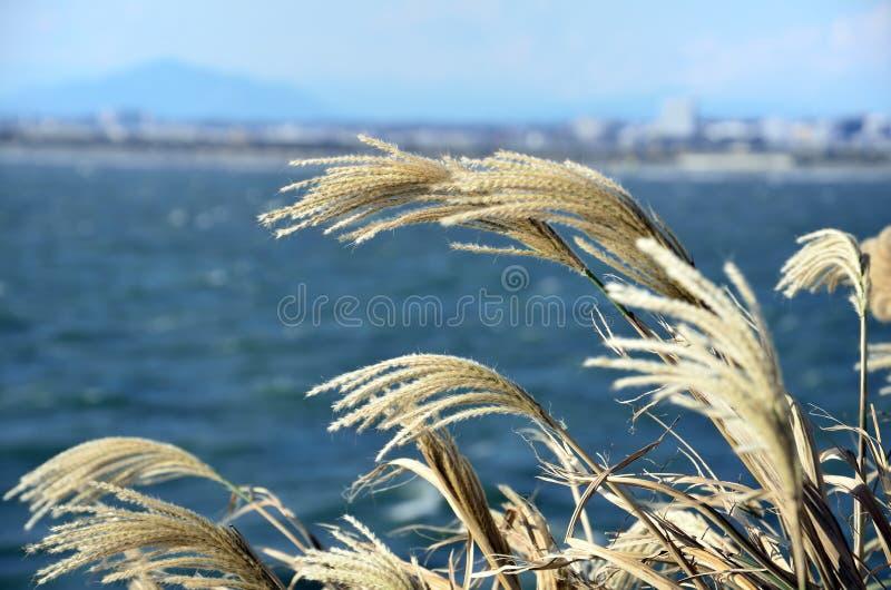 Japanisches Pampas-Gras. stockfotografie