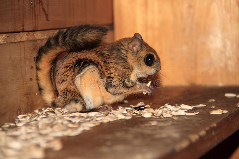 Japanisches zwergartiges Flugweseneichhörnchen lizenzfreie stockfotos