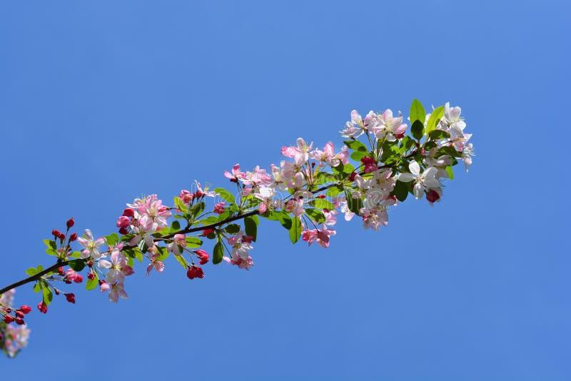 Japanner die crabapple bloeien royalty-vrije stock afbeelding