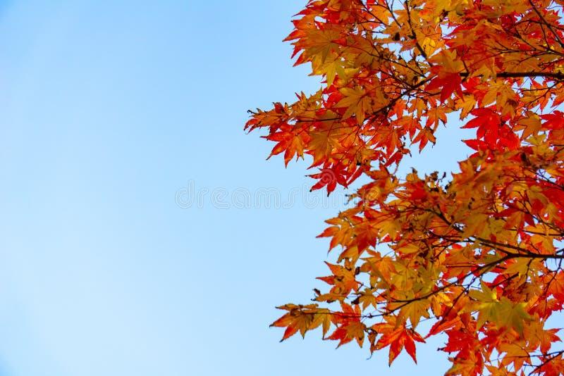Japans-esdoornbladeren over de duidelijke blauwe hemel Bladeren die zijn kleur veranderen wanneer de herfst royalty-vrije stock foto's