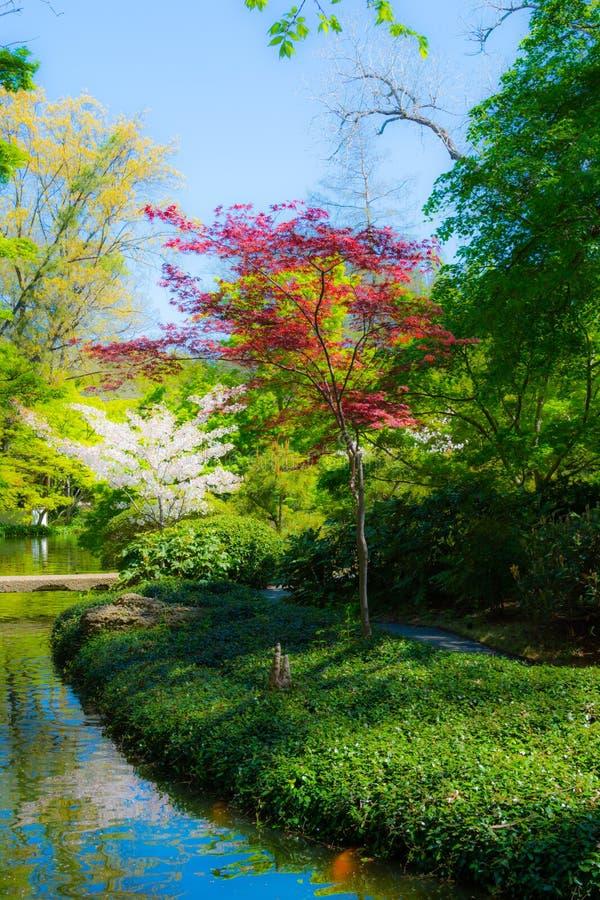 Japans Rood Esdoorn en Cherry Blossom royalty-vrije stock afbeeldingen