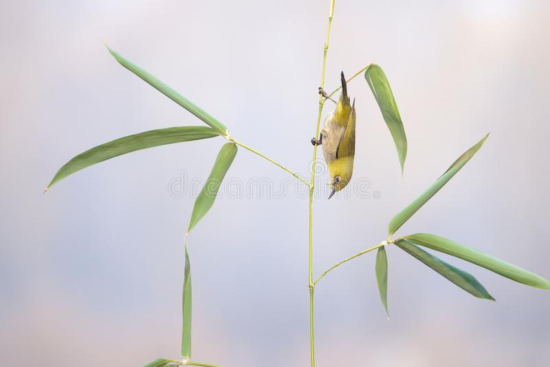Japans wit-Oog en bamboe stock afbeeldingen