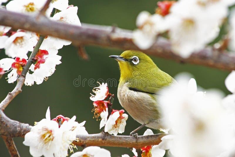Japans wit-Oog in Prunus Mume stock afbeeldingen