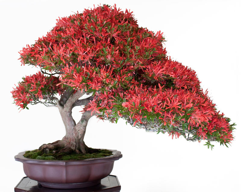Japanse bonsai royalty-vrije stock fotografie