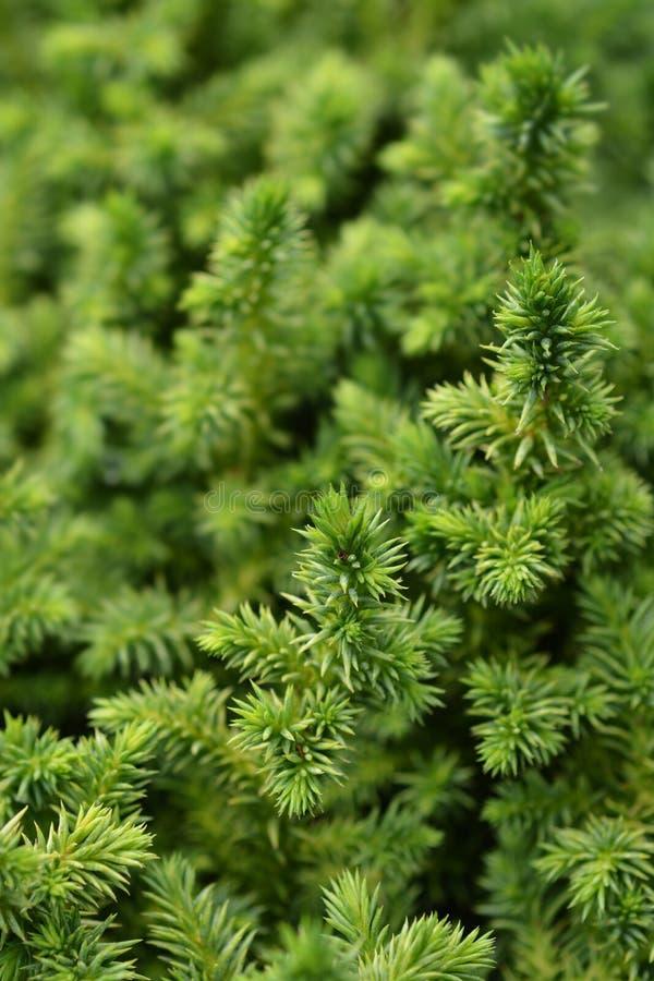 Japanse ceder Vilmoriniana stock afbeelding