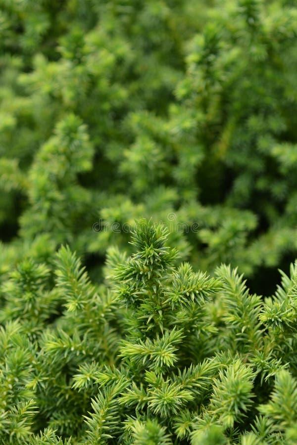 Japanse ceder Vilmoriniana stock foto