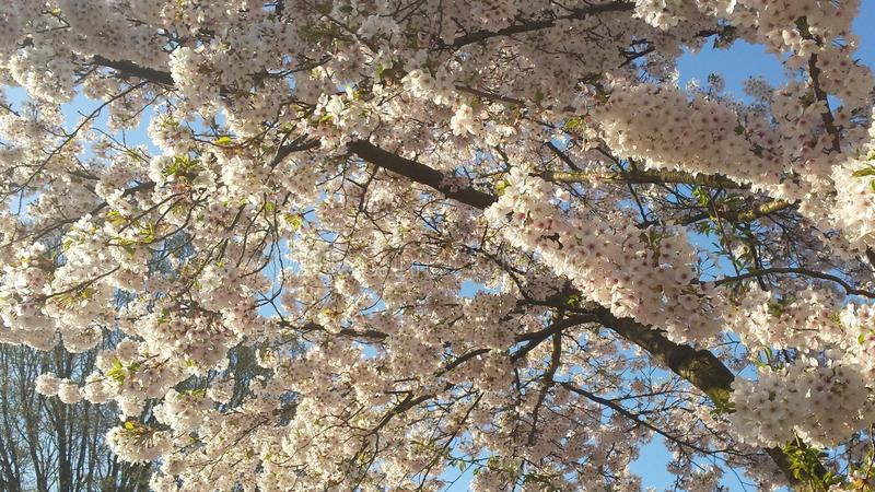 Japanse Cherry Blossem 4 stock foto's