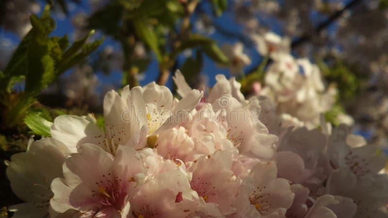 Japanse Cherry Blossem 5 stock afbeeldingen
