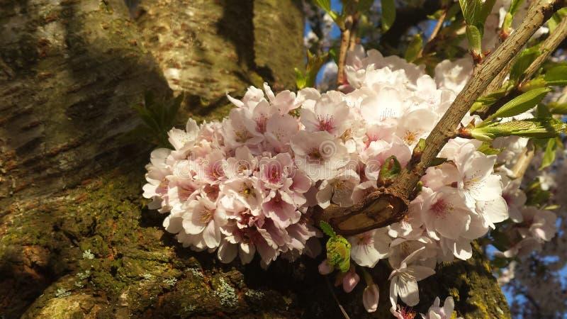 Japanse Cherry Blossem 6 stock fotografie