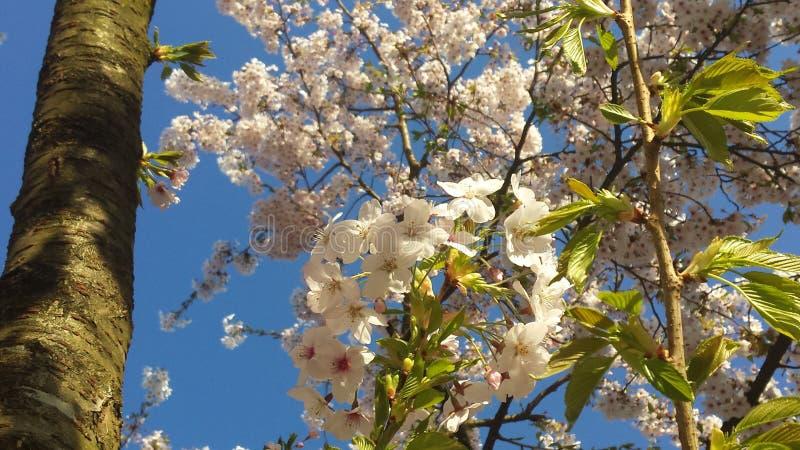 Japanse Cherry Blossem 7 stock afbeelding