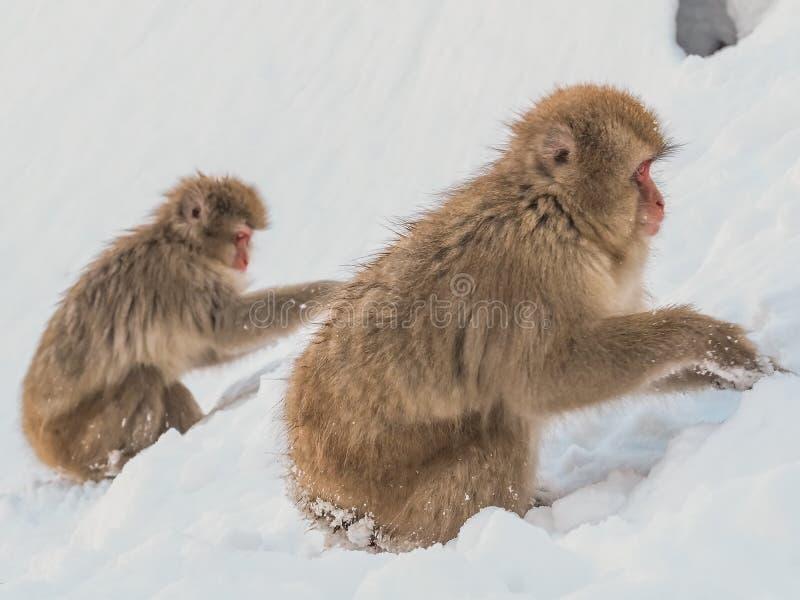 Japanse de sneeuwwintertijd van de Sneeuwaap in de hete lente Onsaen, het dierlijke Park van het schepseljigokudan van de het wil royalty-vrije stock afbeelding