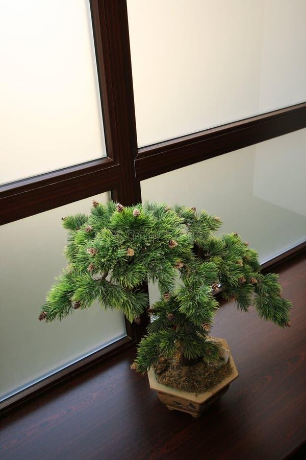 Japanse dwergachtige pijnboom stock foto