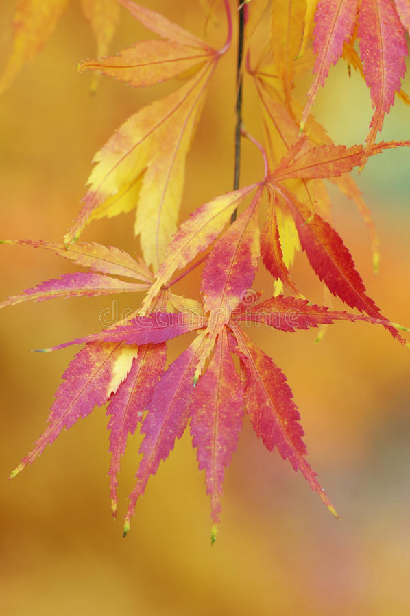 Japanse Esdoorn - palmatum Acer stock afbeelding