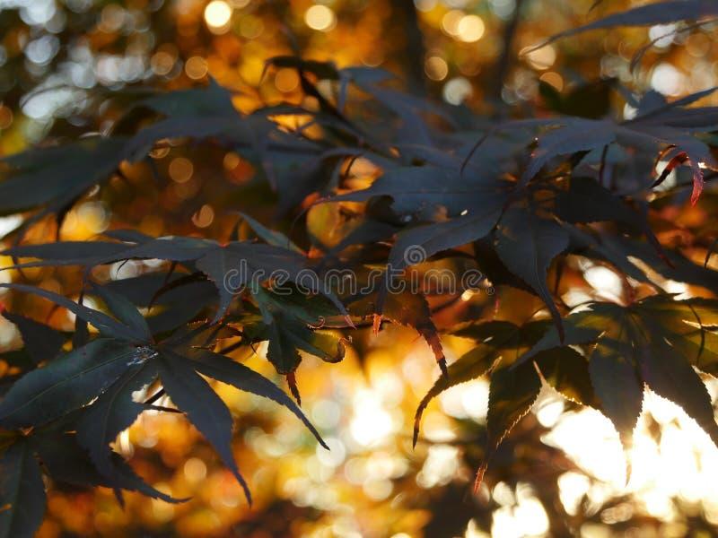 Japanse esdoorn in zonsondergang royalty-vrije stock afbeeldingen