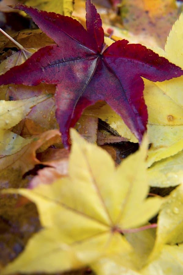 Japanse esdoornbladeren royalty-vrije stock foto's