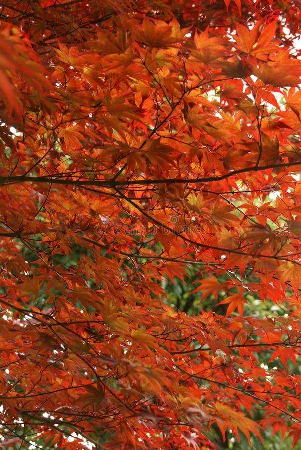 Japanse esdoornbladeren royalty-vrije stock fotografie